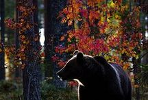 Animals: Bear