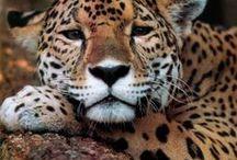 Animals: Leopard
