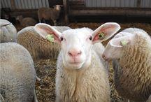 FarmCamps Mariekerke,  Zeeland / Bloemenpluktuin, maisdoolhof, rundvee, en schapenmelkerij op FarmCamps Mariekerke. FarmCamps Mariekerke heeft o.a een eigen maïsdoolhof en eigen 'wilde bloemenpluktuin'.  Op het bedrijf woont gezin De Korte, dat vier kinderen onder de 12 heeft. Samen met de boerin kunnen kinderen hier hun eigen kaas maken. Mariekerke ligt vlak in de buurt van Middelburg en de Zeeuwsekust. FarmCamps Mariekerke is te boeken op www.farmcamps.nl. Hooi Hooi!