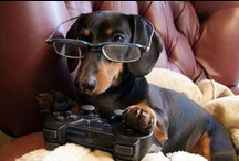 Doxies... / I luv doxies...!