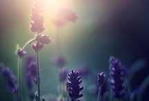 My love of all things Lavender