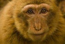 Monos de Gibraltar en Cabarceno, Cantabria, Spain