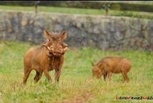 Facoceros en Cabarceno, Cantabria, Spain