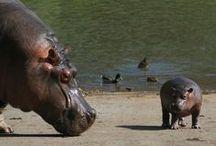 Hipopótamos en Cabarceno, Cantabria, Spain