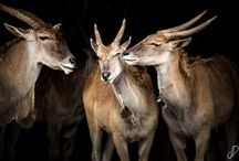Elands en Cabarceno, Cantabria, Spain