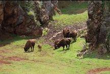 Búfalos en Cabarceno, Cantabria, Spain