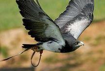 Vuelo de aves rapaces :: Parque de la naturaleza de Cabarceno, Cantabria, Spain / Espectáculo de vuelo de aves rapaces. Muy didáctico. Impresionante...
