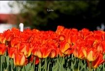 Tulips- My Photography / My Clicks..2013