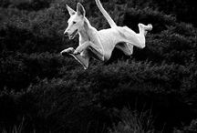 Podenco - der etwas andere Hund / Podenco - a different kind of dog