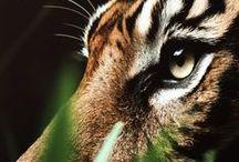 Tigres / Son mi pasión. Espero poder colgar una (o varias y si pudiera todas) de estas imágenes en mi habitación/casa.
