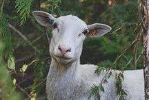 Raising Livestock / All about raising and keeping backyard livestock!