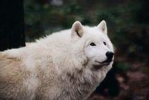 Wolf /