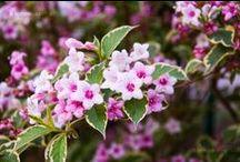 Virágzó sövény / Ezeket lehetne ültetni virágzó sövénybe