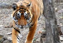 Ranthambhore Tiger Reserve | Sawai Madhopur | Rajasthan / Tucked away between the Aravalis and the Vindhyan hill systems in the Sawai Madhopur district of eastern Rajasthan, Ranthambhore National Park (282 sq km) is a part of the much larger Ranthambhore Tiger Reserve (1334 sq km). The reserve is home to over 40 species of mammals, 300 species of birds, 45 species of reptiles and over 300 species of plants. It is the only forest reserve in Rajasthan state and in the entire Aravali hill ranges where wild bengal tigers still exist.