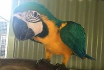 Birds for Sale / Birds that can be kept in Australia, are for sale here. From breeders.