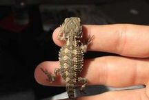 Reptiles for sale / Here you will find all the reptiles for sale on Pets Please .com.au The Australian Pet Website