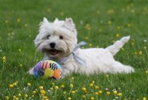 Westies~All About Westies / All about Westies ~ is a board to meet Westie owners and to share helpful information as well as adorable photos and stories. If you want to be apart of this board please leave me a message and I will add you. Thank you.