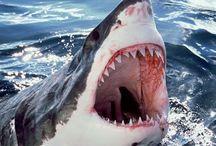 shark stuff / C'est pas si unique,l'amour pour les requins,mais,la base de cette intérêt pour eux...vient du film JAWS!!  C'est ni un bon,ni un mauvais,souvenir,mais c'est un souvenir....