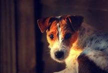 Parson Russell Terrier  / <3
