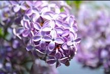 Lovely Lilacs, Lavender, Violets, etc. / by Patricia Main