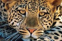 Animals ~ BIG CATS / #Animals, #Leopards, #Lions, #Tigers, #BigCats. Animal Kingdom!