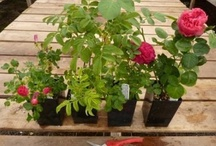 Own Root Roses