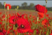 Маки - Poppies / Быть может, оттого я так печален, Что ярких красок Нет вокруг меня? Послал купить я Красные цветы. И. Такубоку