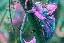 Хамелеон Chameleon