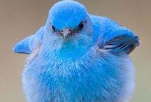 Голубые птицы. Bird blue