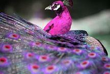 Павлины. Peacocks