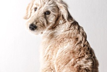 Dogs / by Poodle Boudoir