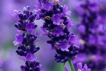 Purple / Plants for you garden