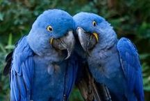 Blue Birds  / Blu and...