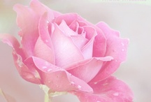 Beautiful Pink Roses / by Donna Porter