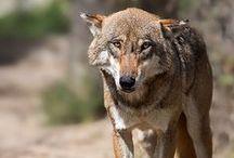Loups / Wolfs