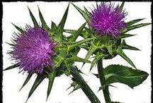 Şifalı Bitkiler / Sağlığınıza iyi gelecek olan şifalı bitkiler burada...