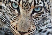 Cheetah loveeee