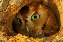 Birds / Amazing Owls