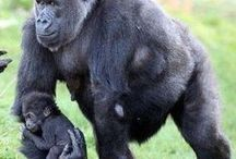 Monkeys & Apes