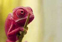 Reptiles <3 cameleons :)