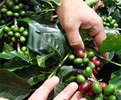Vélez koffie / Vélez koffie is hoogte en hoge kwaliteit Arabica koffie  uit verschillende regio's van Ecuador, zelfs van de Galápagos eilanden. Eerlijk, duurzaam, transparant, traceerbaar.