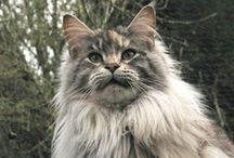 Maine Coon Mania / Maine Coon