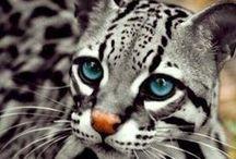 動物/animals / 猫画像収集中に出会った動物立ち。 カラカルはもう猫に分類してもよい気がする今日この頃。 じゃオセロットは?ジェネットは?...。