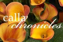 Calla Chronicles / Our Blog