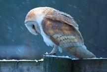 Everything Owls!