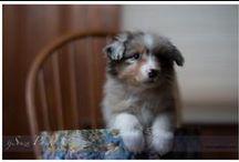 Aussie Puppy Photos / Aussie Puppy Photos  #AussiePuppyPhotos #Austrailianshepards #aussies #puppies #cutepuppy