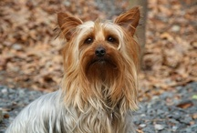 Australian Silky Terrier / FCI-Group 3, Section 4, Standard N° 236