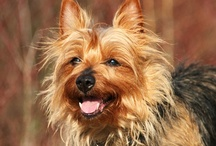 Australian Terrier / FCI-Group 3, Section 2, Standard N° 8