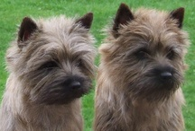 Cairn Terrier  / FCI-Group 3, Section 2, Standard N° 4