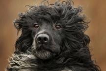 Cão de agua Português